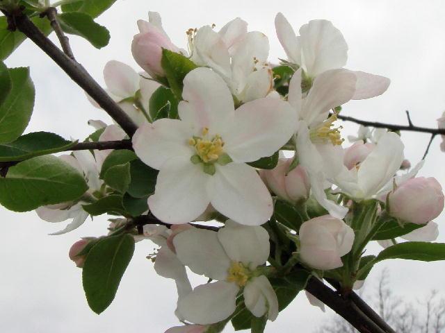 彦根りんごを復活する会・お花見会(2)