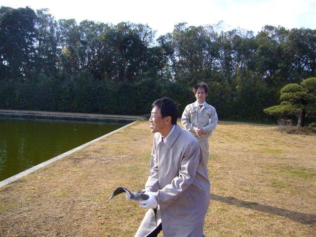 宮内庁新浜鴨場での捕獲と放鳥(2)